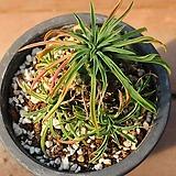 괴마옥 45|Euphorbia hypogaea