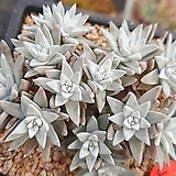 화이트그리니자연4-63|Dudleya White gnoma(White greenii / White sprite)