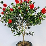 병솔나무 (특특대품 동일품배송 )|
