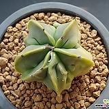 청돌기란봉옥/난봉옥-467 (W:5.0cm,실생4년,6각변이중)