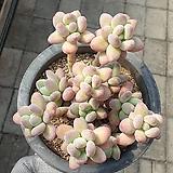 Pachyphytum Apple老庄群生(中品이상~)