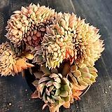 블렛블루아나철화 Echeveria bradburiana