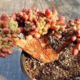 페러독스 철화 Pachyveria cv Paradoxa