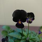 흑제비꽃 
