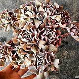 핑크라우톱 Echeveria Exotic