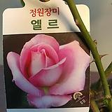 정원장미 엘르 