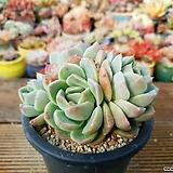 환엽알바뷰티 4-136|Echeveria Alba Beauty