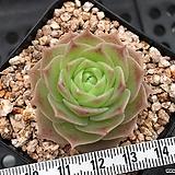 멕도갈리 (Graptopetalum macdougallii, offset - 원종 환엽종) 