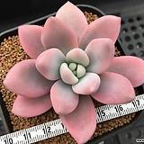 핑크오팔리나금 컷팅묘 ( xGraptoveria 'Pink Opalina' variegated, cutting) 