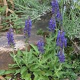 숙근사루비아-블루 5포트 묘종 10cm포트묘|