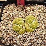 할리 샤키스 그린 씨앗 10립 Lithops hallii Sakkies Green(LS016)|