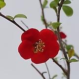 [단품할인]명자나무|