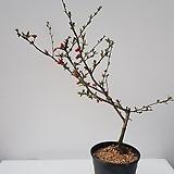 [단품할인]명자나무#1|