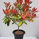 [단품할인]홍가시나무|