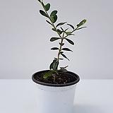 올리브나무(소품)|