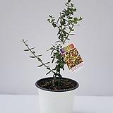 올리브나무(중품)|