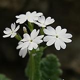 토종 흰앵초