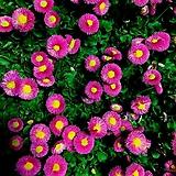 동국-겨울데이지(핑크) 7포트 묘종 10cm포트묘|