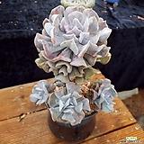 큐빅후로스티목대|Echeveria pulvinata Frosty