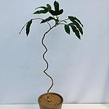 황칠나무 이태리토분완성품 (동일품배송 )|