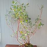 은방울나무 특대품 