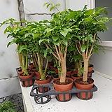 녹보수 대박나무  외목대  키 65~75cm|Sedum dendroideum