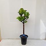 떡갈 고무나무/외목대/공기정화식물/반려식물/온누리 꽃농원 