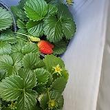딸기 특3번|