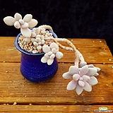 아메치스목대|Graptopetalum amethystinum