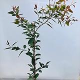 귀한유칼립투스 픽시폴리아(특특대품 동일품배송 )|Echeveria minima hy (pixie)