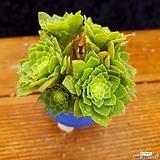 귀요미 에오니움빙 컷팅군생|Aeonium canariense