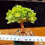 귀요미에오니움빙 컷팅군생|Aeonium canariense