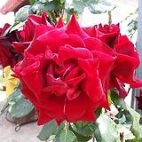 4계명품수입넝쿨장미.프레지던트 생골.(예쁜겹형.예쁜진한빨강색.흑장미).몰약향기.아주예뻐요.울타리.넝쿨장미.월동가능.상태굿..늦가을까지 피고 합니다.|Echeveria Black Rose