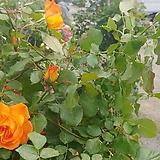 4계명품수입넝쿨장미.사하라(예쁜노랑색에서 주황색으로 변함).울타리.넝쿨장미.월동가능.상태굿.늦가을까지 피고 합니다.|