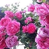 4계명품수입넝쿨장미.엘름숀.(진핑크색)(예쁜겹꽃형).몰약향기.아주예뻐요.울타리.넝쿨장미.월동가능.상태굿..늦가을까지 피고 합니다.|