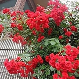 4계명품수입넝쿨장미.스칼렛.(예쁜겹형.예쁜빨강색).꽃형작은형.몰약향기.아주예뻐요.울타리.넝쿨장미.월동가능.상태굿..늦가을까지 피고 합니다.~|Echeveria Scarletta