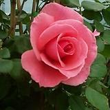 4계명품수입넝쿨장미.라위니아.(예쁜핑크색)(예쁜기본형꽃형).몰약향기.아주예뻐요.울타리.넝쿨장미.월동가능.상태굿..늦가을까지 피고 합니다.|