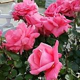 4계명품수입넝쿨장미.로잔나.(예쁜핑크색)(예쁜기본형꽃형).몰약향기.아주예뻐요.울타리.넝쿨장미.월동가능.상태굿..늦가을까지 피고 합니다.|Echeveria Rosanna