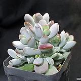 방울복랑|Cotyledon orbiculata cv