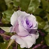 블루문 정원장미 (보라)