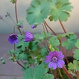 청화쥐손이 꽃대가득 