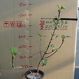 겹떡갈잎수국4번-천중(팔방/겹꽃) 개화주-동일품배송|