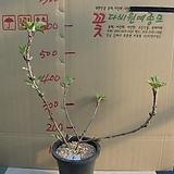 겹떡갈잎수국5번-천중(팔방/겹꽃) 개화주-동일품배송|