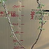 겹떡갈잎수국6번-천중(팔방/겹꽃) 개화주-동일품배송|