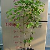 불도화4번-상아색의 둥근꽃이 이뻐요-부처님꽃-동일품배송|Echeveria ivory