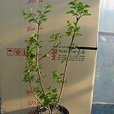 불도화5번-상아색의 둥근꽃이 이뻐요-부처님꽃-동일품배송|Echeveria ivory