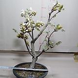 구척백등1번-현재개화중-일반등보다5배이상큰꽃-동일품배송|