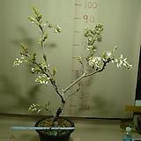 구척백등3번-현재개화중-일반등보다5배이상큰꽃-동일품배송|