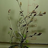 구척자등1번-현재개화중-일반등보다5배이상큰꽃-동일품배송|