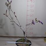 구척자등4번-현재개화중-일반등보다5배이상큰꽃-동일품배송|